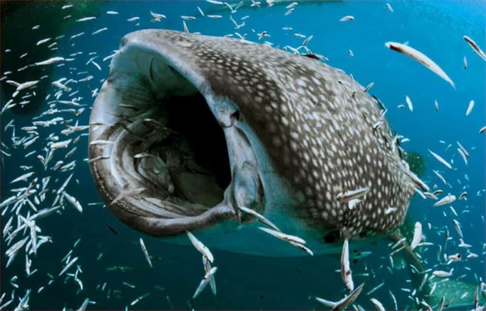 Tiburón ballena Holbox - Alimentación