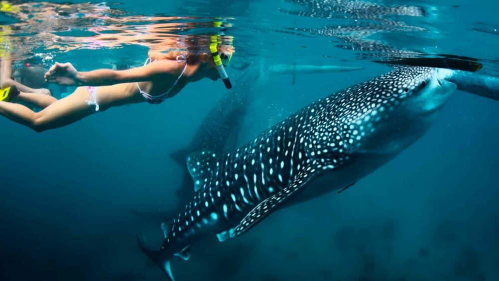 Tiburón ballena Holbox - Nadar junto a tiburones ballena