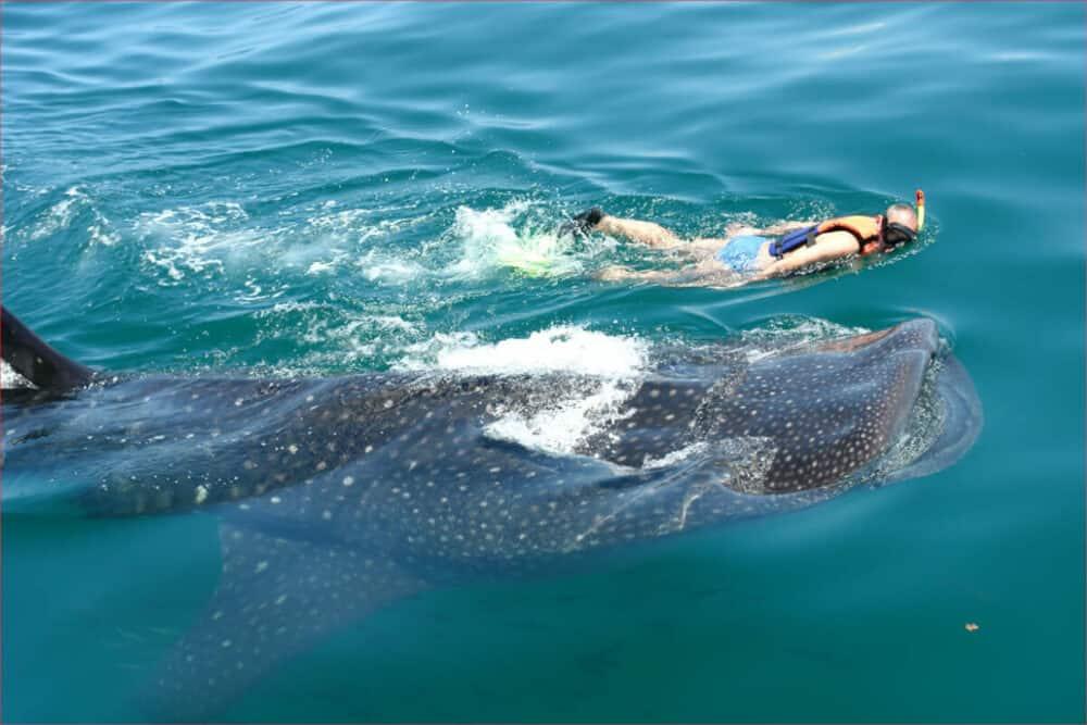 Tiburón ballena Holbox - Nado
