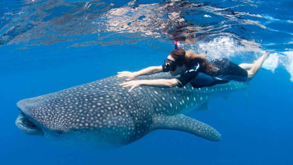 Tiburón ballena Holbox - Nado con tiburón ballena