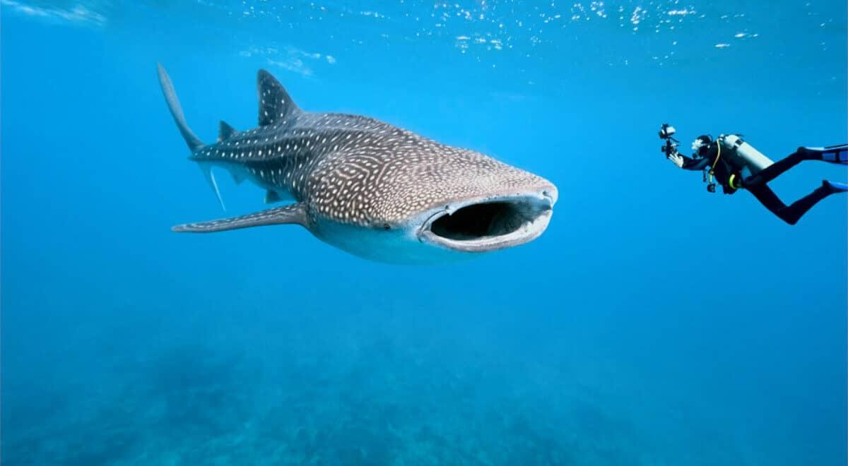 Tiburón ballena Holbox - Una experiencia increíble