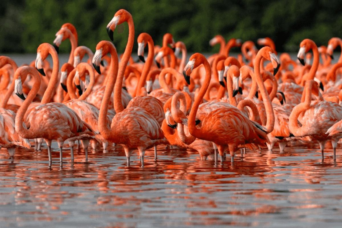 Celestun Yucatán - Datos curiosos sobre los flamencos que habitan el Celestún