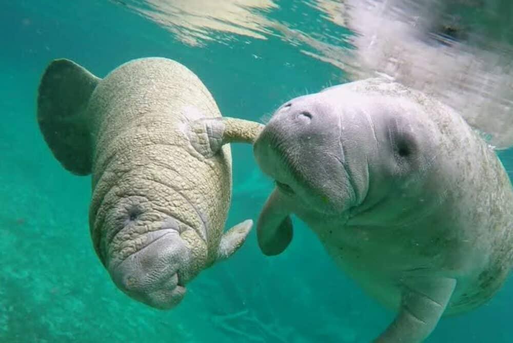 Dolphin Discovery - Manatíes