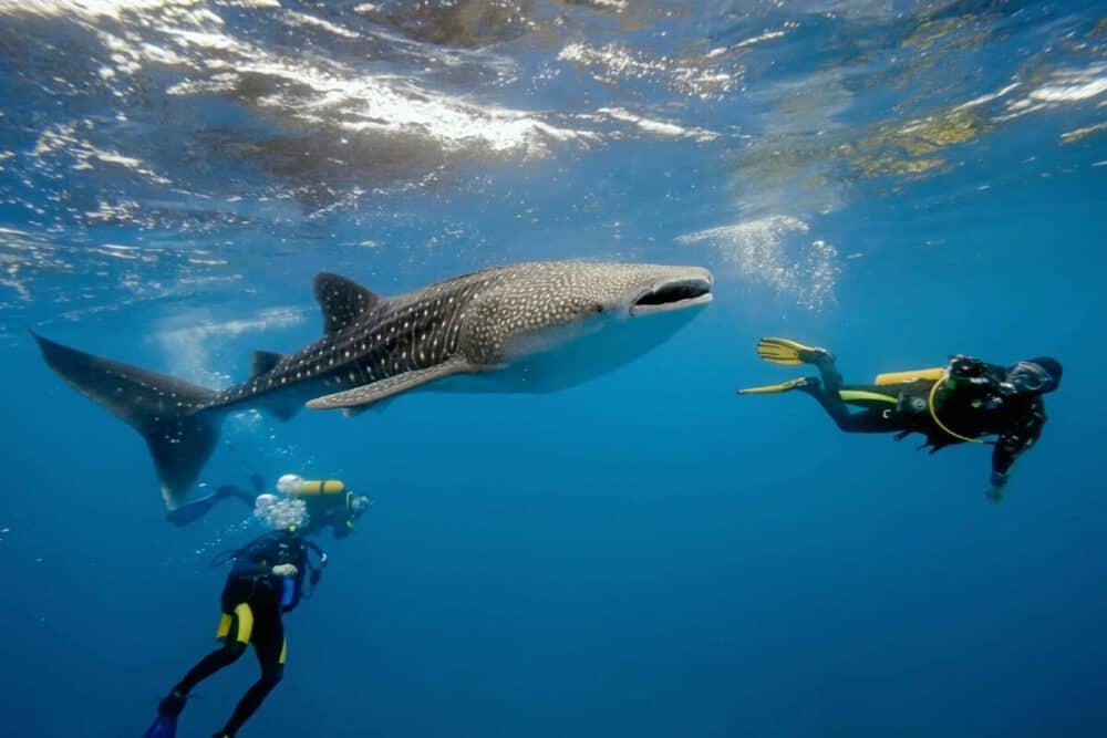 Qué hacer en Holbox - Nado con tiburón ballena