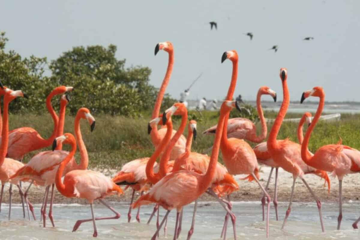 Puerto Progreso Yucatán - Flamencos
