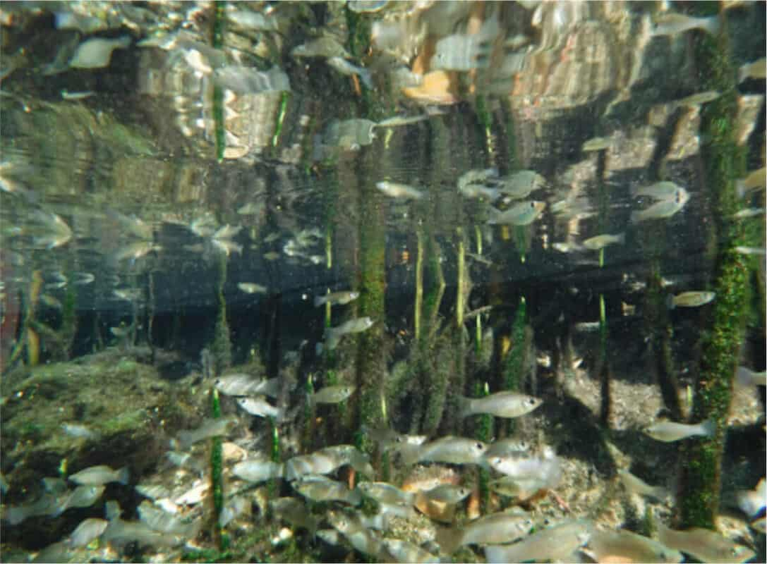 Cenote Manatí - Peces